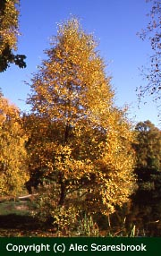 Silver birch - autumn colour
