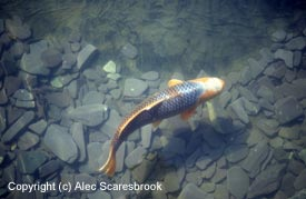 The dark slate background has fooled the automatic exposure meter. The overexposed result is that the orange of this male Asagi is bleached out, and the background is smoky.  With digital, or with transparency film this is the photographer's fault.  Also part of the Koi's body is in shadow. Copyright (c) Alec Scaresbrook.