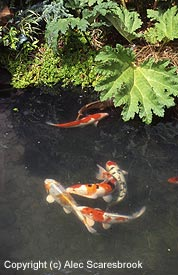 This photo of Koi (Sanke, Tancho Sanke, Doitsu Kujaku, Kujaku and Kohaku) is muddled, over exposed and the leaf reflections and shadows are distracting. Copyright (c) Alec Scaresbrook.